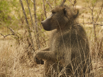 Profile of a baboon, Kruger National Park, Mpumalanga, South Africa - VEGF00256