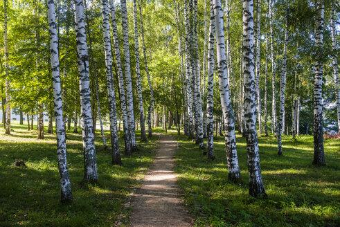 Birch tree forest, Plyos, Golden ring, Russia - RUNF02103
