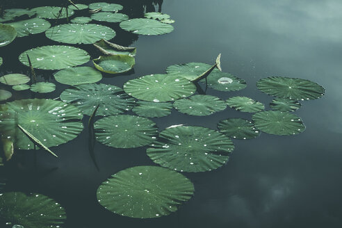 Lily-pads on pond, Wuppertal, Germany - DWIF01010