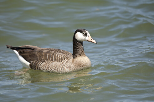 Canada goose and grey goose hybrid on Chiemsee, Bavaria, Germany - ZCF00786