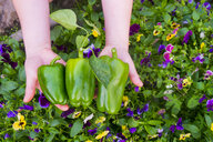 Close up of hands holding green peppers over flowers - BLEF04431