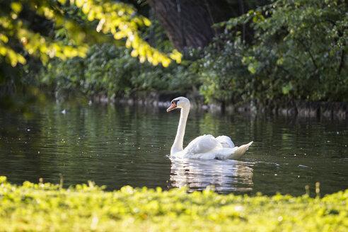 Swimming swan - MAMF00689