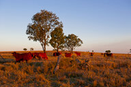 Cattle in late afternoon light, Carnavaron Gorge, Queensland, Australia - RUNF02285