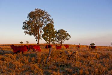 Cattle in late afternoon light, Carnavaron Gorge, Queensland, Australia - RUNF02285