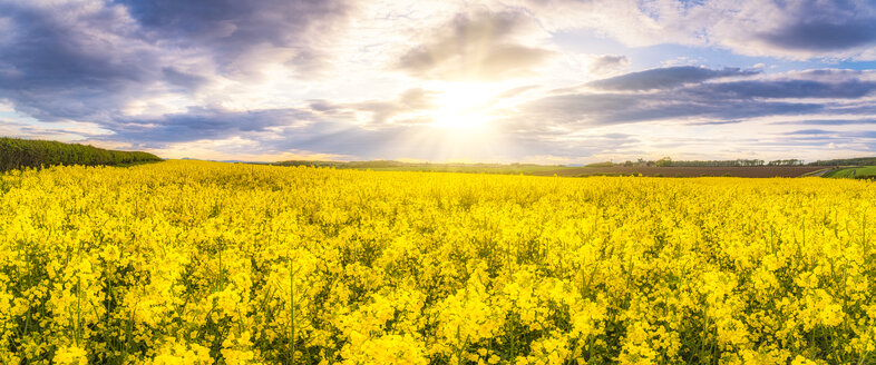 Panoramic view of rape field against the sun, East Lothian, Scotland - SMAF01239