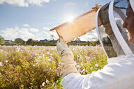 Beekeeper, holding beehive frame of honey up to the sun, in field full of flowers - JUIF01199