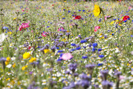 Close up of vibrant wildflowers in sunny field - JUIF01239