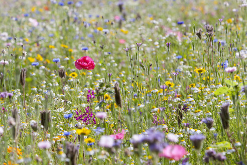 Close up of vibrant wildflowers in sunny field - JUIF01242