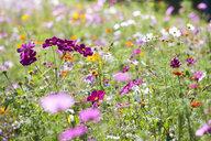 Pink blooming flowers in field of wildflowers - JUIF01245
