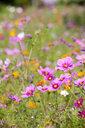 Pink blooming flowers in field of wildflowers - JUIF01248