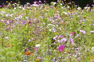 Blooming flowers in field of wildflowers - JUIF01265