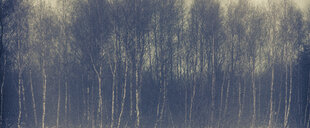 Birch forest in winter - ANHF00126