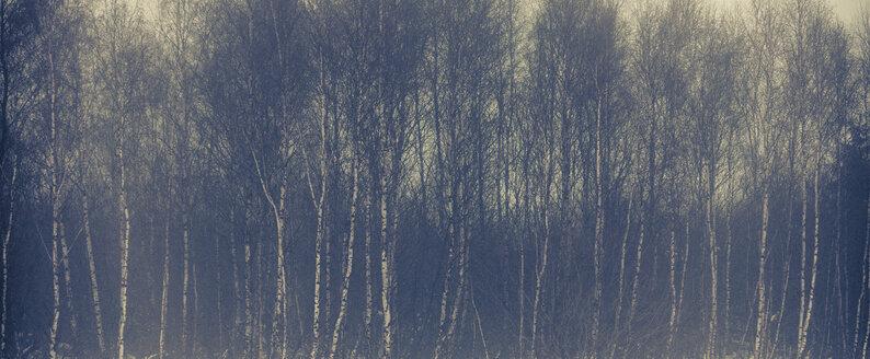Birch forest in winter - ANHF00126