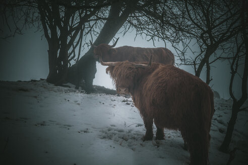 Highland cattles under trees in winter, Germany - ANHF00135