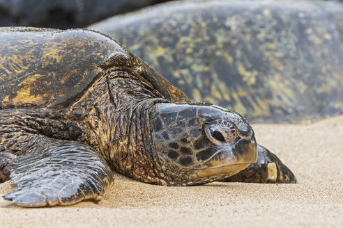 Portrait of Green Sea Turtle on the beach, Ho'okipa Beach Park, Hawaii, USA - FOF10858