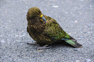 Juvenile Kea near Fox Glacier, South Island, New Zealand - RUNF02489