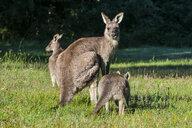Kangaroos in the Grampians National Park, Victoria, Australia - RUNF02510