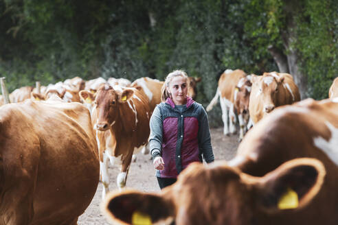 Young woman driving herd of Guernsey cows along a rural road. - MINF11344