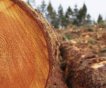 Sawn ends of timber logs, cut wood, with wood grain pattern. - MINF11425