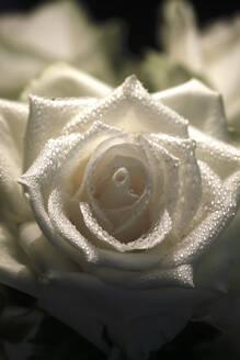 Rose mit Wassertropfen,Germany - JTF01240