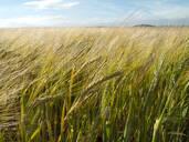 Growing barley blowing in the wind - JUIF01301