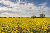 View to rape field, Wangel, Germany - KEBF01259
