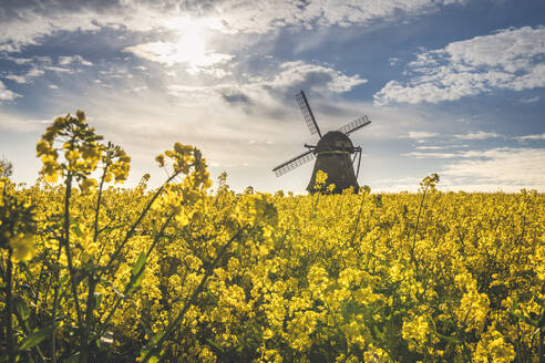 View to Farver windmill with rape field in the foreground, Wangel, Germany - KEBF01262
