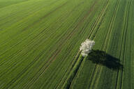 Aerial View of blossoming cherry tree in green agricultural fields, springtime, Franconia, Bavaria, Germany - RUEF02242