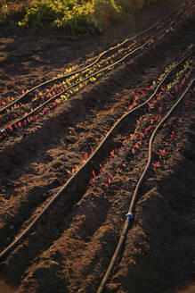 Seedlings growing in crop field - MINF12131