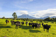 Cows on a pasture before Mount Taranaki, North Island, New Zealand - RUNF02700