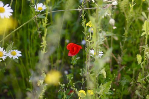 Flower meadow with corn poppy - JTF01248