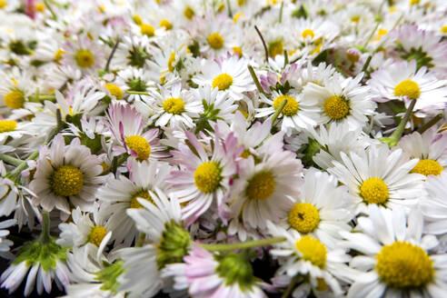 abgeschnittene Gänseblümchen Blüten, Natur Medizin, Heilplanze, Garten, Blüten - NDF00932