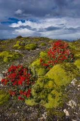 Colourful moss on island, Ushuaia, Tierra del Fuego, Argentina, South America - RUNF02778