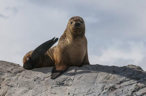 Sea lions, Beagle channel, Argentina, South America - RUNF02781
