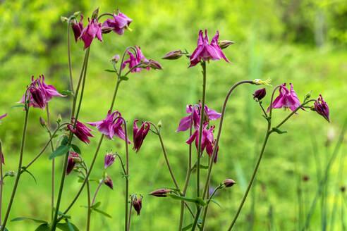 Columbine flowers - NDF00935