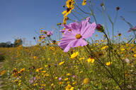 Close up of wildflowers in sunny meadow - JUIF01517
