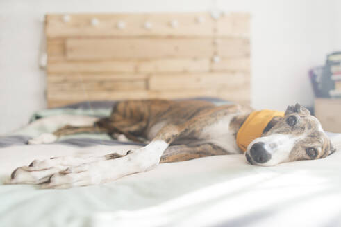 Portrait of Greyhound lying on bed wearing yellow scarf - SKCF00580