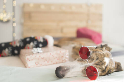 Tired Greyhound lying on bed with Christmas present wearing glasses - SKCF00583