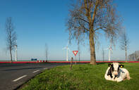 Cow in a pasture early in the morning, bulb fields and wind turbines in the background, Nagele, Flevoland, Netherlands - CUF51582