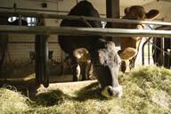 Cows in stable - FBAF00813