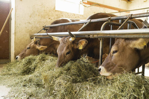 Cows eating hay in stable - FBAF00831