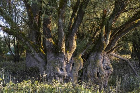 alte Silber-Weide (Salix alba) an der Isar, Naturschutzgebiet Isarmündung, bei Deggendorf, Niederbayern, Bayern, Deutschland - SIEF08719