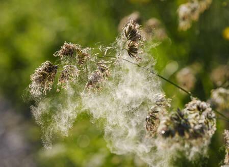 Pollenflug,, Gewöhnliches Knäuelgras (Dactylis glomerata), Niederbayern, Bayern, Deutschland - SIEF08722