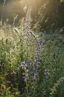Blauer Natternkopf (Echium vulgare), Naturschutzgebiet Isarmündung, bei Plattling, Niederbayern, Bayern, Deutschland - SIEF08728