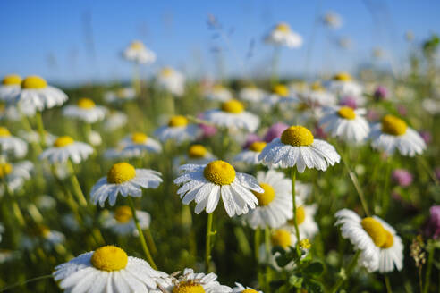 Close-up of wet white daisies blooming outdoors, Bavaria, Germany - SIEF08731