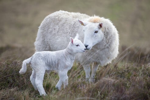 Sheep and lamb on moorland - JUIF01839
