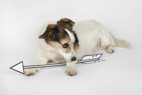 Mongrel with drawn arrow lying on white ground - PSTF00447