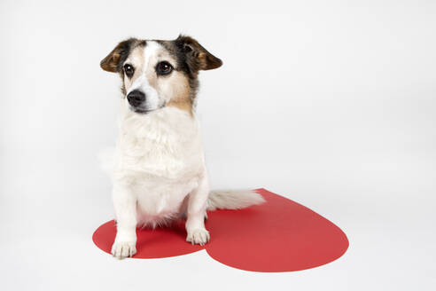 Portrait of mongrel sitting on big Ace Of Hearts - PSTF00474