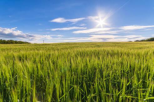 UK, Scotland, East Lothian, Field of barley (Hordeum vulgare) on sunny day - SMAF01266