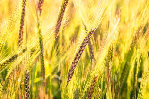 UK, Scotland, East Lothian, Close-up of barley (Hordeum vulgare) growing in field - SMAF01269